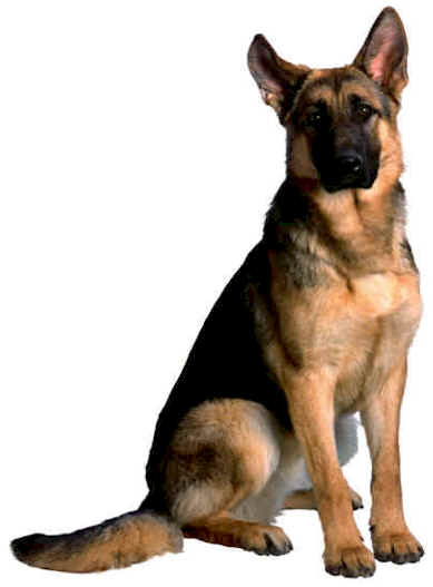 german_shepherd1.jpg